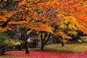 Red Vine Maple In Full Autumn Glory