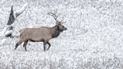 Bull Elk Walks In The Snow