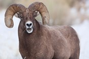 Bighorn Sheep With Grass In His Mouth