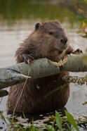 North American Beaver Gnawing Through An Aspen
