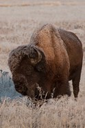 American Bison On A Frosty Morning