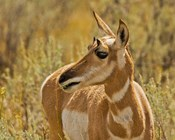 Close-Up Of A Pronghorn