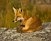 Red Fox Resting, Yellowstone National Park, Wyoming