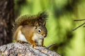 Red Tree Squirrel Posing On A Branch
