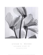 Cyclamen Study No.1
