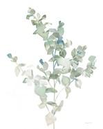 Eucalyptus II Cool