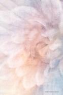 Soft Dahlia Pastel Blue Lilac