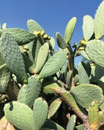 Cali Cactus
