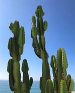Regal Cactus