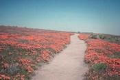 California Blooms IV