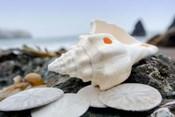 Crescent Beach Shells 11