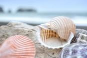 Crescent Beach Shells 9