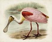 Roseate Spoonbills II