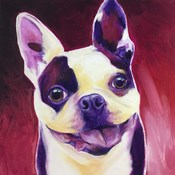 Boston Terrier - Abigail
