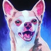 Chihuahua - Paco