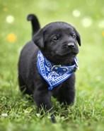 Black Lab Pup 1