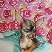 Lola Chihuahua