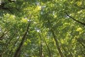 Hardwood Forest Canopy IV