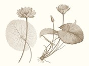 Sepia Water Lily II