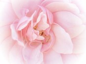 Pretty Pink Blooms III