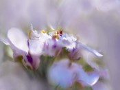 Mist of Lilac III