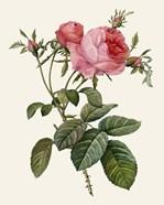 Redoute's Rose II