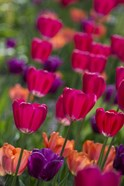 Bright Spring Tulips 2