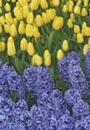 Hyacinth And Yellow Tulips In Garden, Las Vegas