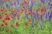 Poppy Field, Mount Olive, North Carolina