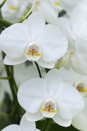 White Orchid Blooms