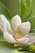 Magnolia Tree Flower Blossom