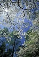 White Flowering Dogwood Trees in Bloom, Kentucky
