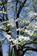 USA, Tennessee, Nashville Flowering dogwood tree at The Hermitage