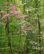 Eastern Redbud and Flowering Dogwood, Arlington County, Virginia