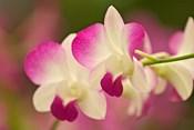 Orchids, Selby Gardens, Sarasota, Florida