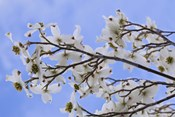 Blooming Dogwood Tree, Owens Valley California