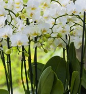White Orchid Blooms 2