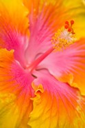 Pink And Yellow Hibiscus Flower,  San Francisco, CA