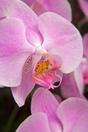 A Pink Orchid In The Phalaenopsis Family, San Francisco