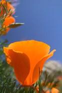 Poppies Spring Bloom 2. Lancaster, CA