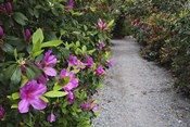 Rhododendron Along Pathway, Magnolia Plantation, Charleston, South Carolina