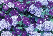 Hydrangea And Clematis, Issaquah, Washington
