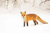 Red Fox IV
