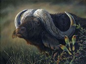 Caped Buffalo