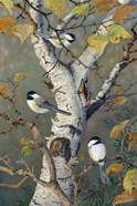 Chickadees In Birch