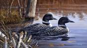 Beaver Pond Loons