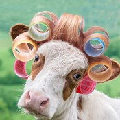 Cow in Curlers