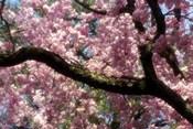 Cherry Blossom Tree In Bloom In Springtime, Tokyo, Japan