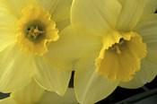 Cache Valley Daffodils, Utah