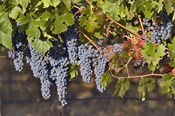Close Up Of Cabernet Sauvignon Grapes In The Haras De Pirque Vineyard, Chile, South America